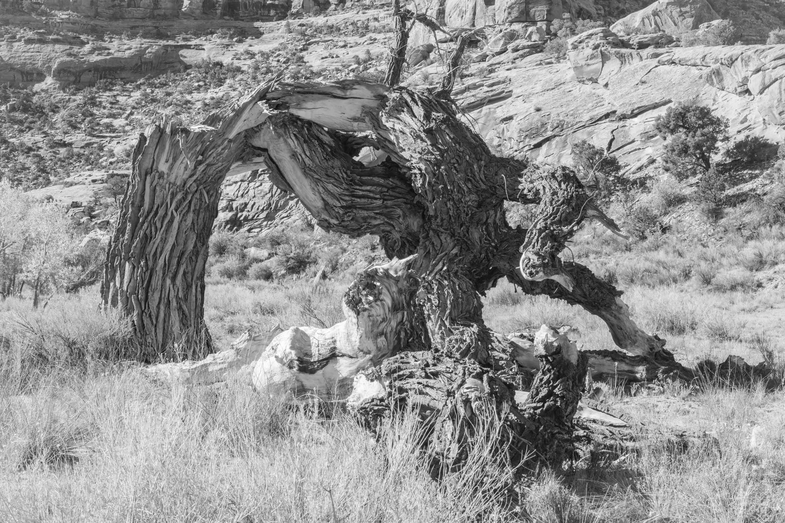 A twisted cottonwood near the Spanish Trail in Buckhorn Wash, San Rafael Swell, Utah.