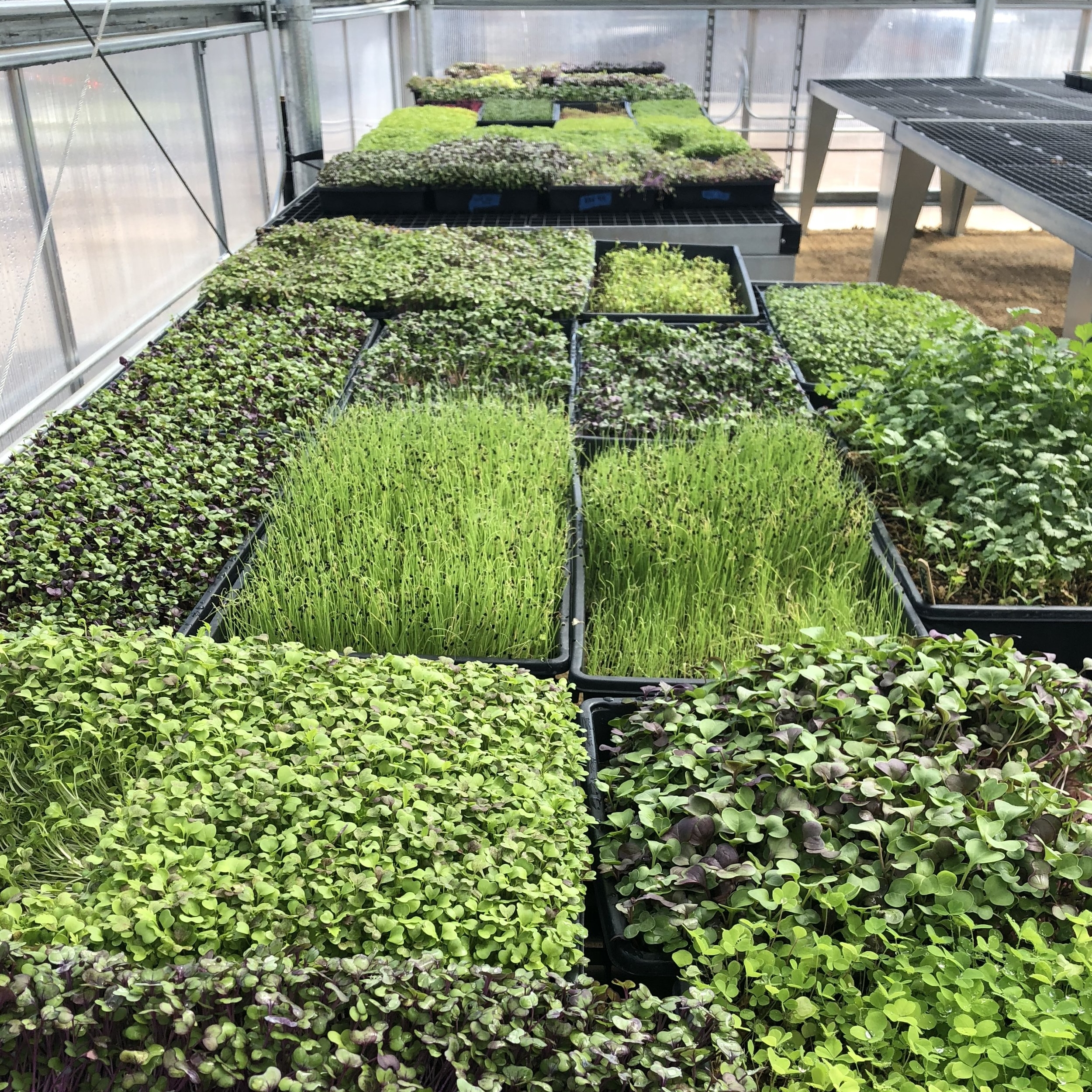 Microgreens and herbs growing in GrowGood's greenhouse.