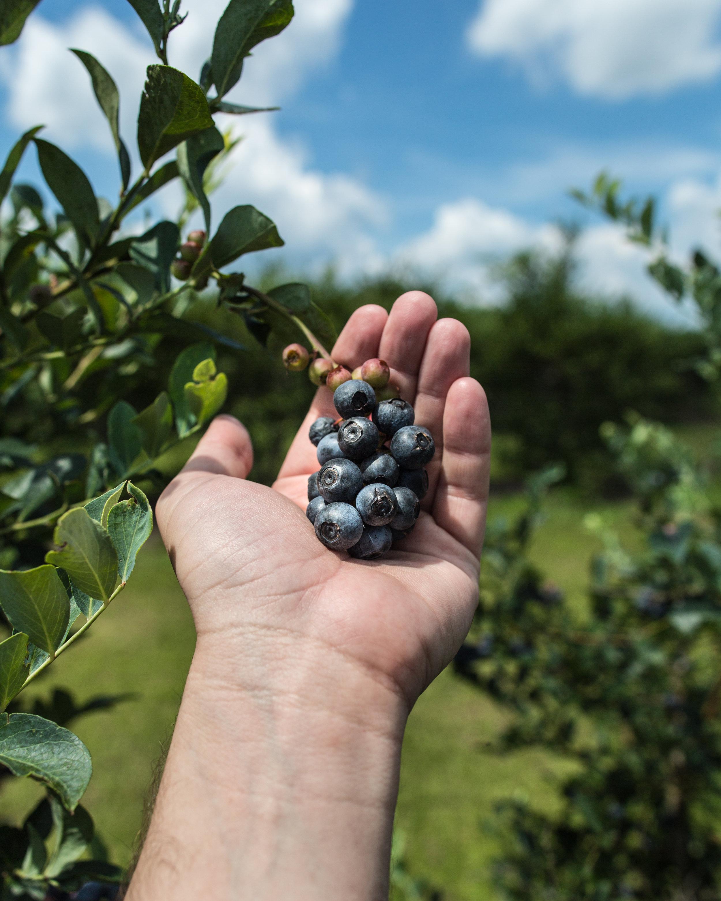 blueberries-hand-shot.jpg