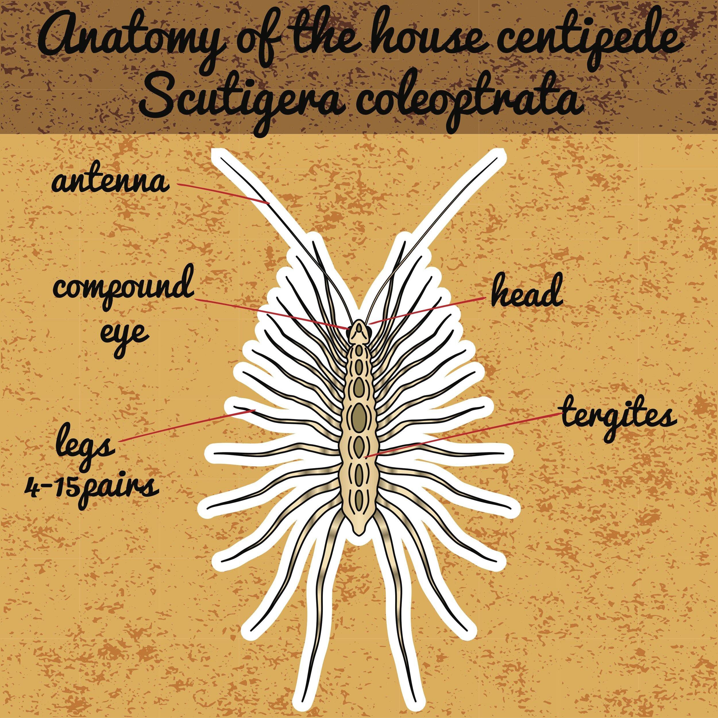 房子centipede.jpg