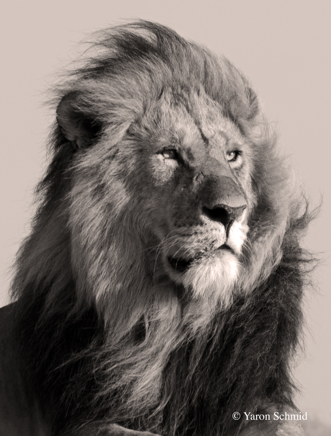 The Lion King in Black and White