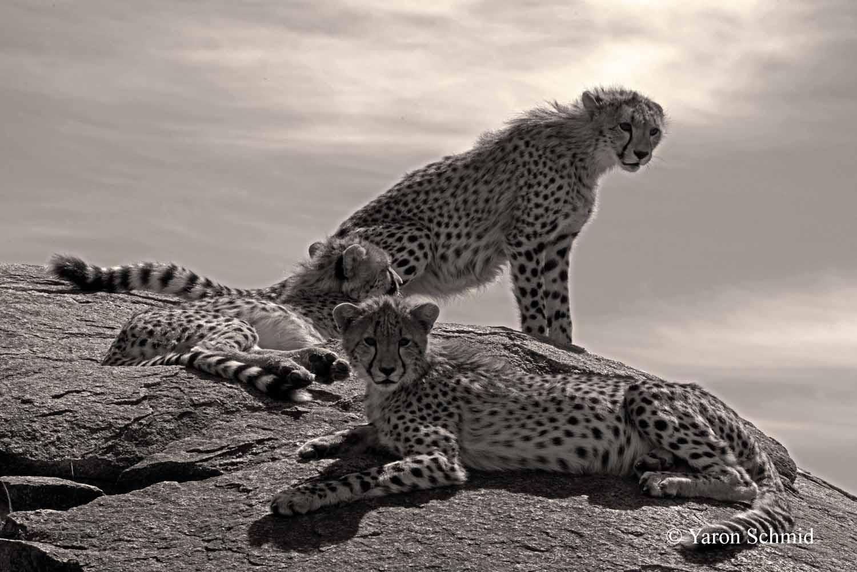 Cheetahs Sunbathing