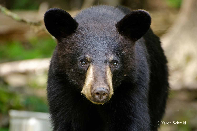 A Bear's Stare