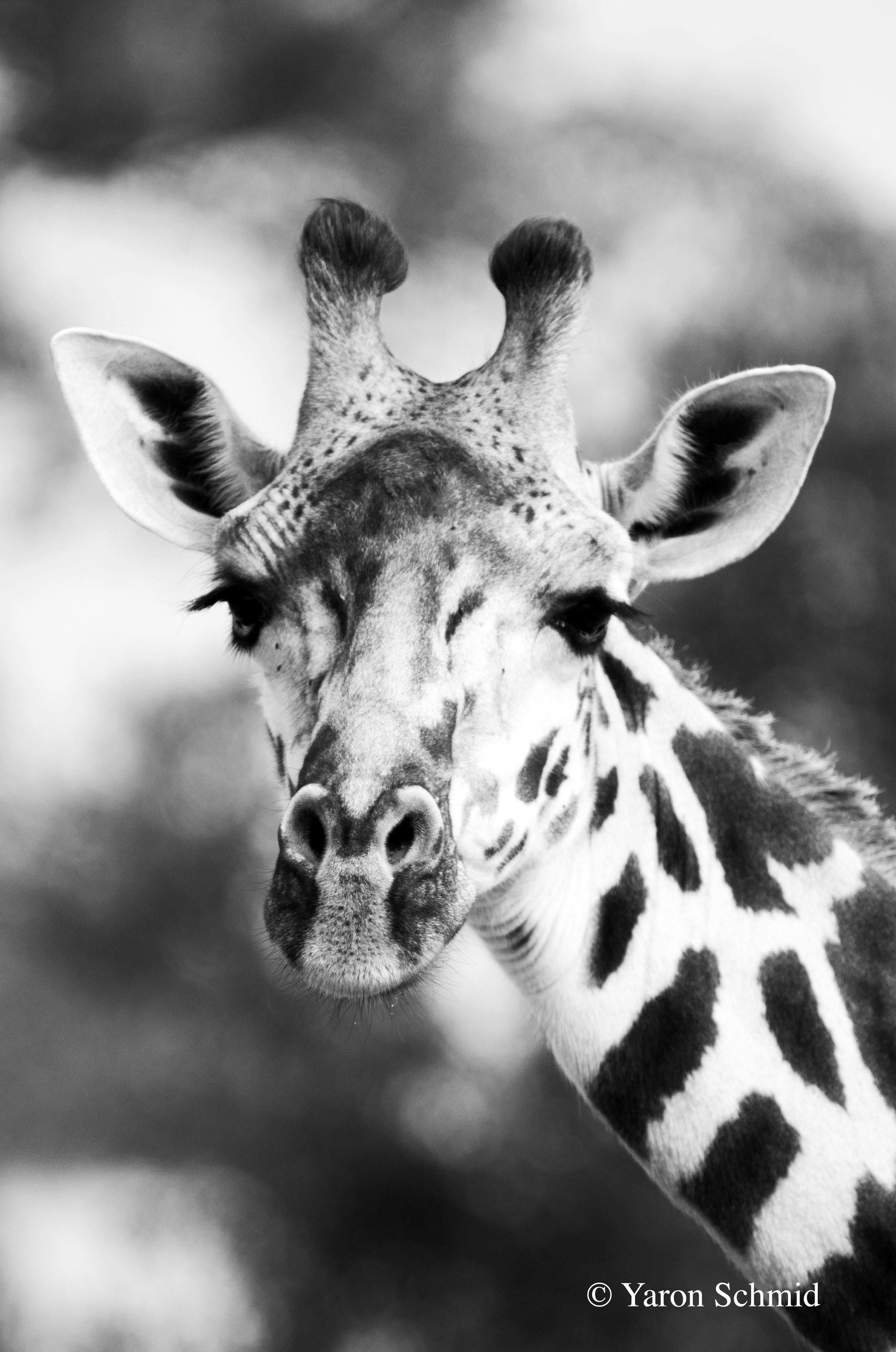 Giraffe Profile in Black and White