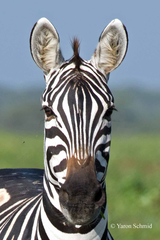 Zebra Headshot