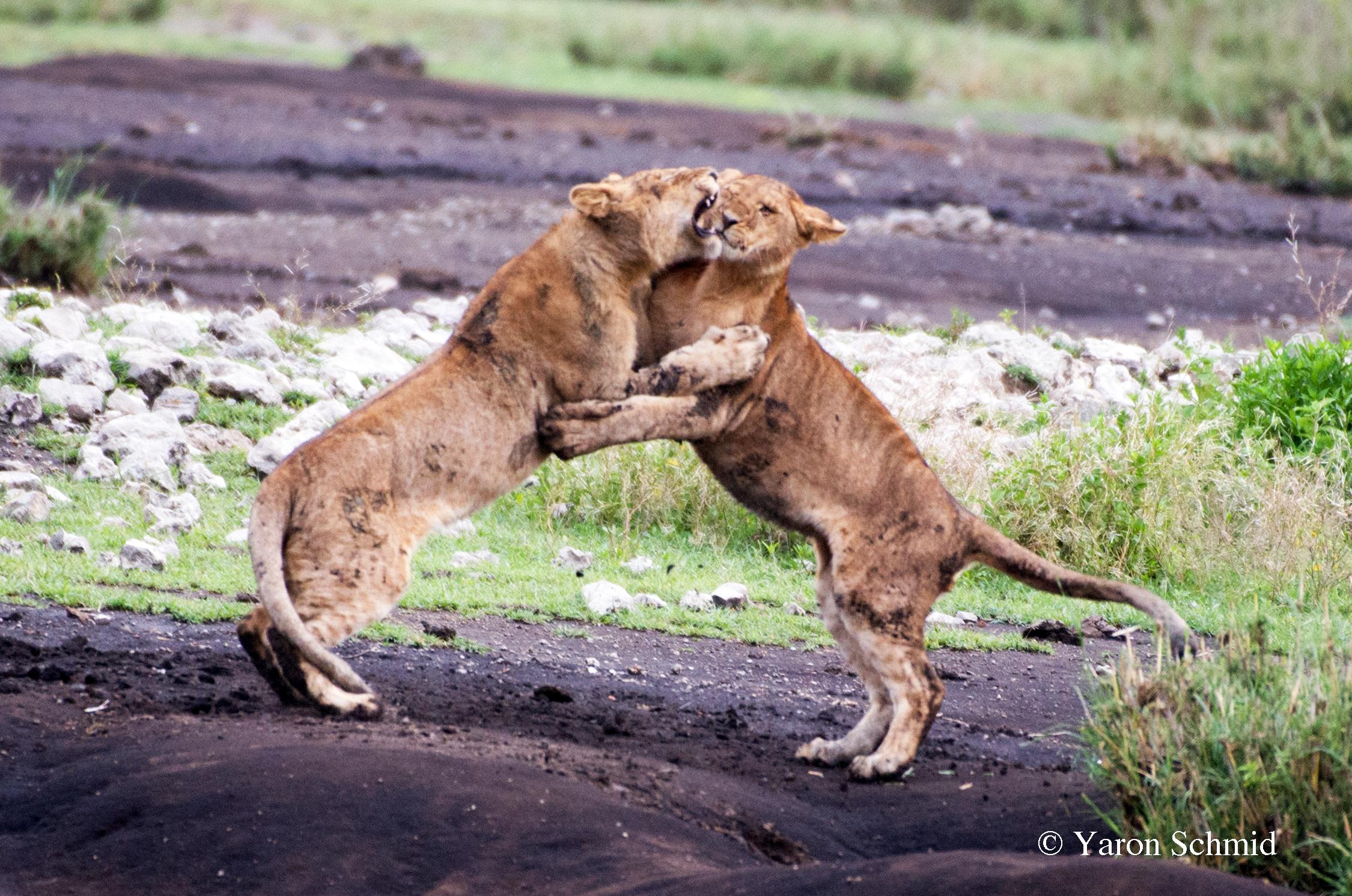 """""""Dancing with Lions"""" - Ndutu, Tanzania 2016"""