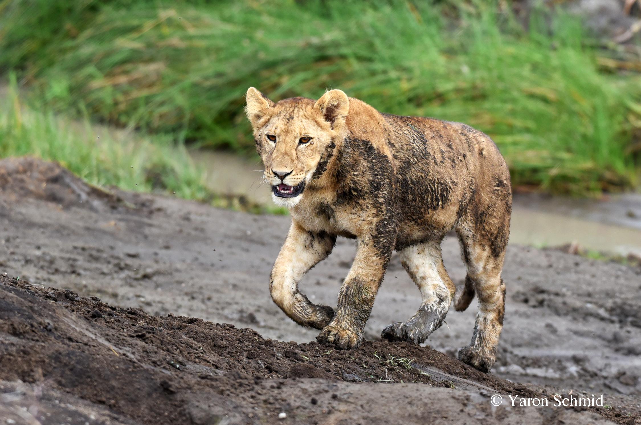 Muddy Cub