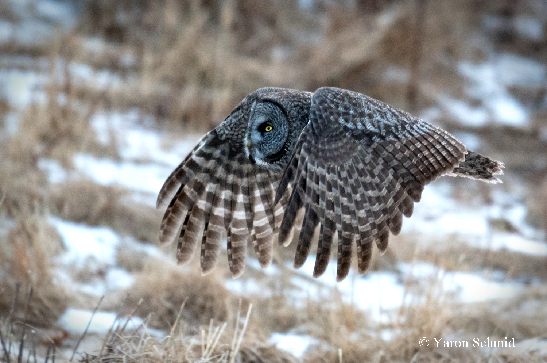 Great Grey in Flight