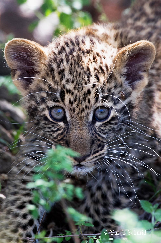 Osirata's Cub