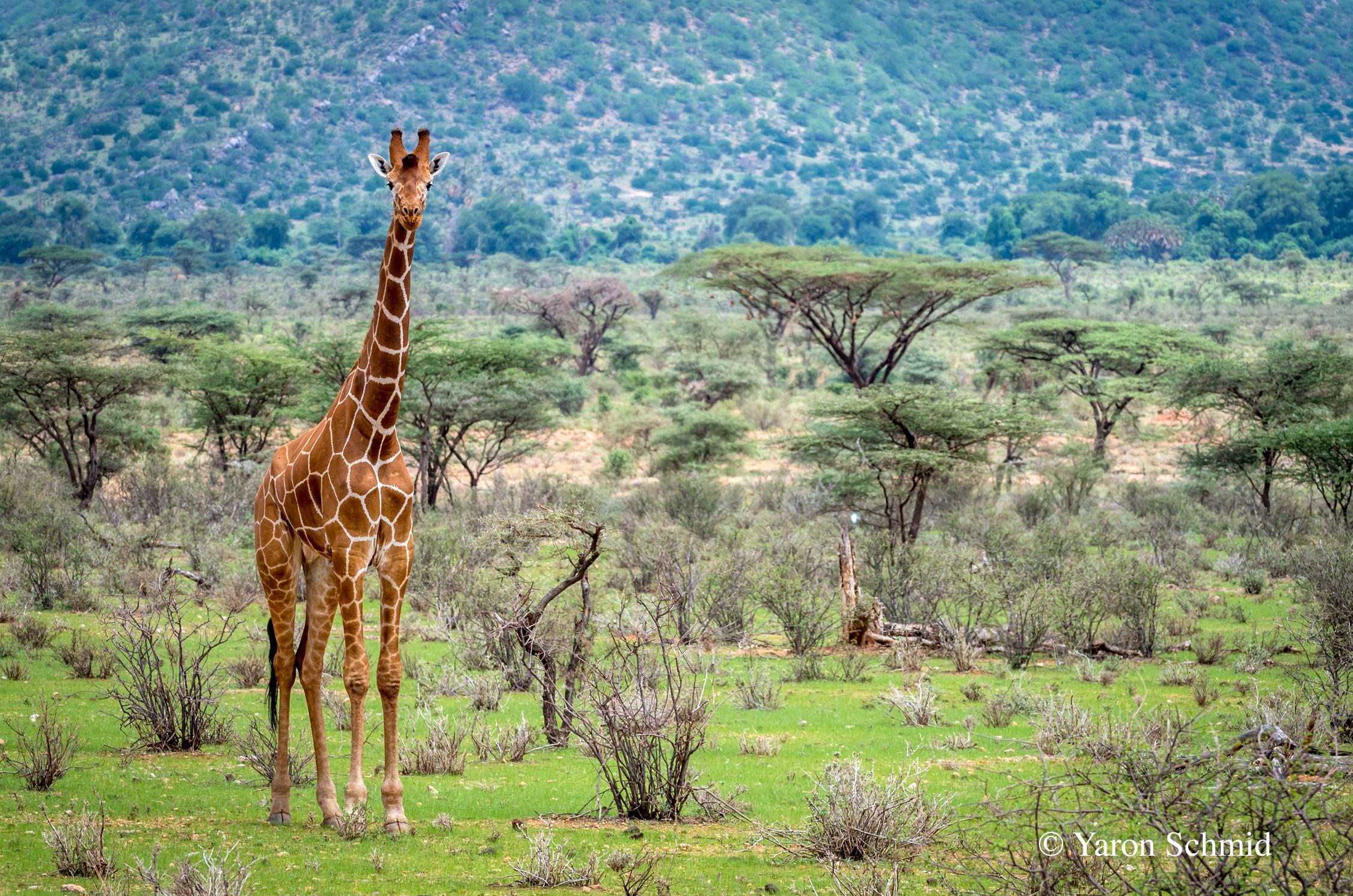 Samburu in Green