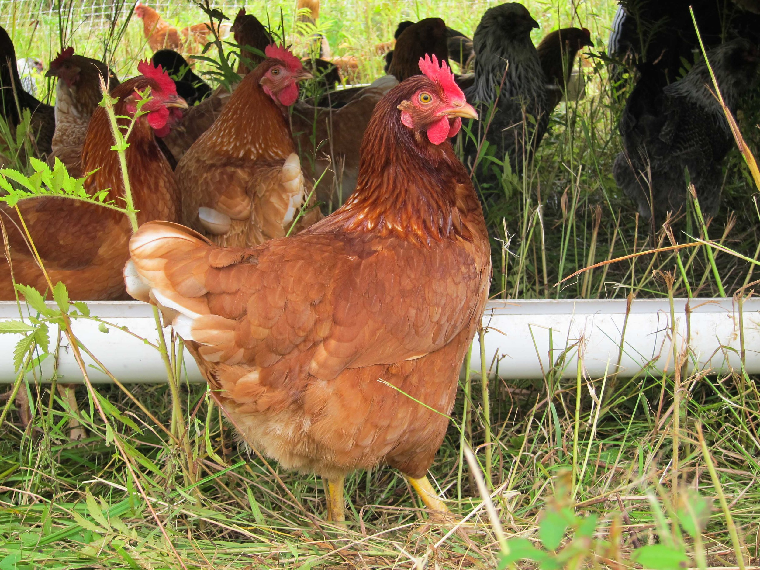 CTPoultry-8041.jpg