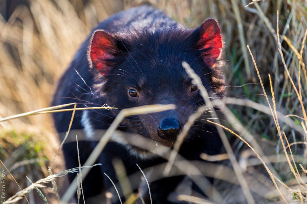 TasmanianDevil-Australia-9622.jpg