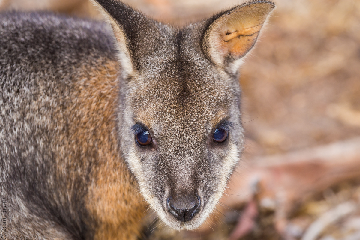 Wallaby-Australia-9050.jpg