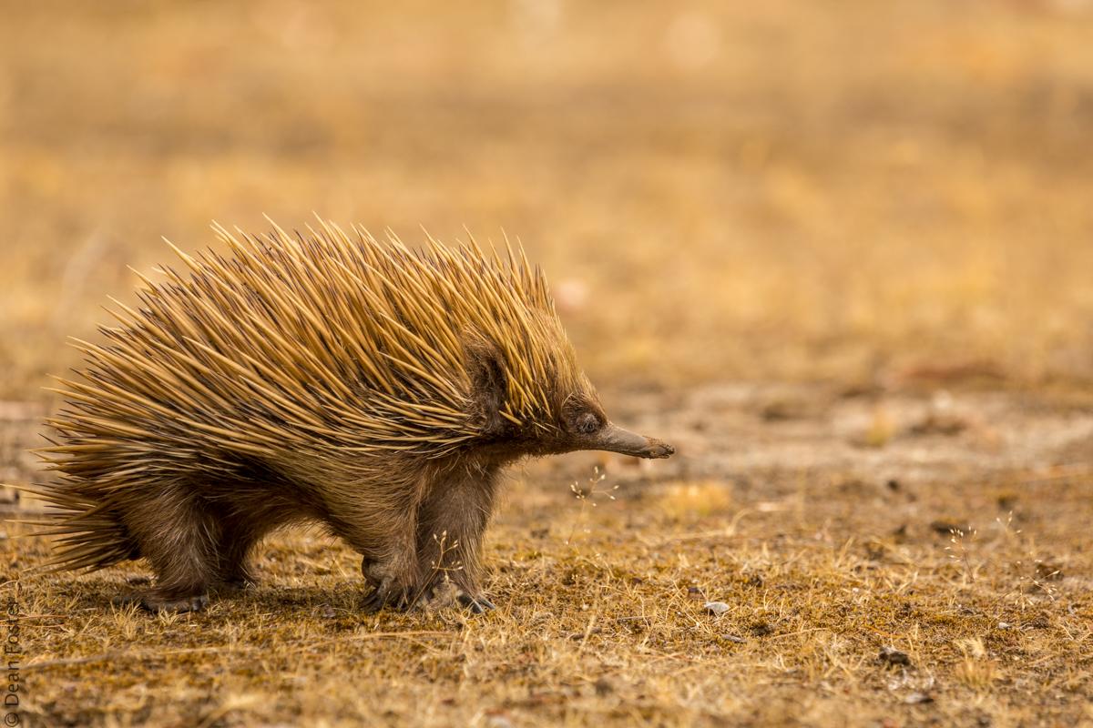 Echidna-Australia-8989.jpg
