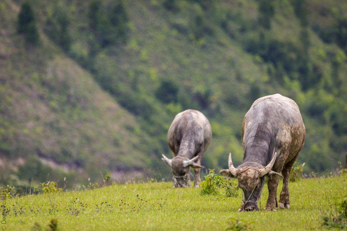 Water buffalo graze on Samosir Island, Indonesia