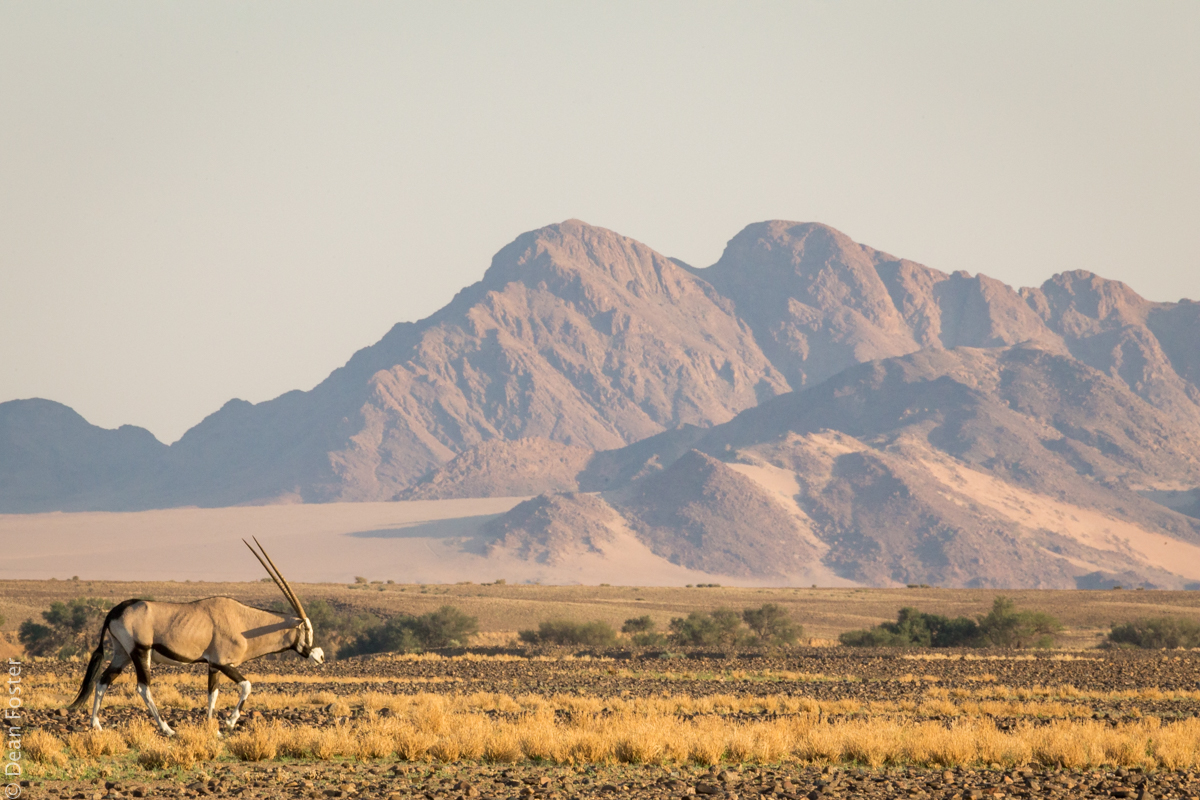 A gemsbok lumbers through the Sossusvlei arid terrain