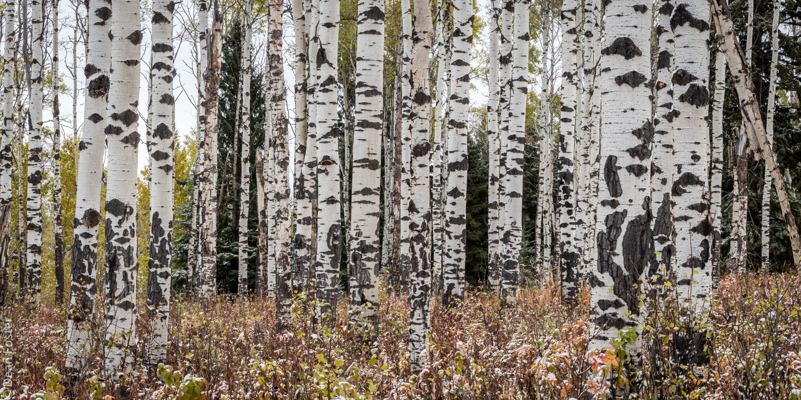 Aspen forest in the Ann and Sandy Cross Conservation Area