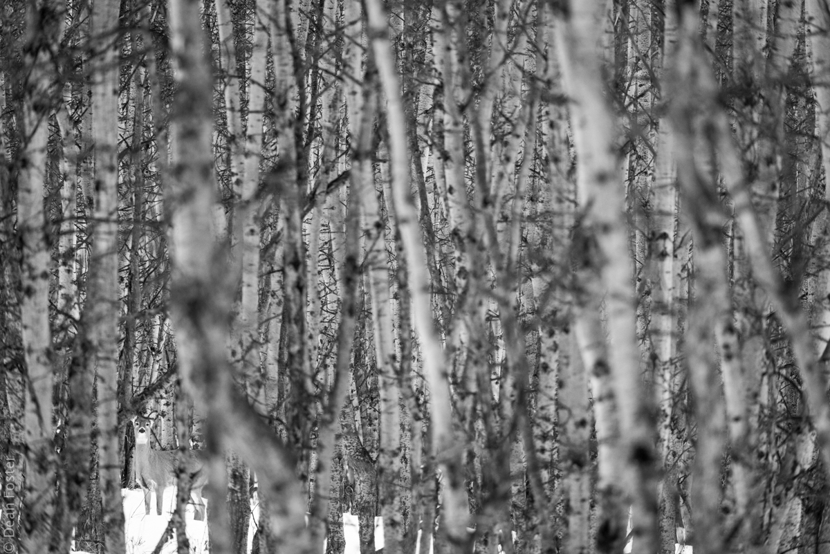 A white-tailed deer hides among an aspen forest