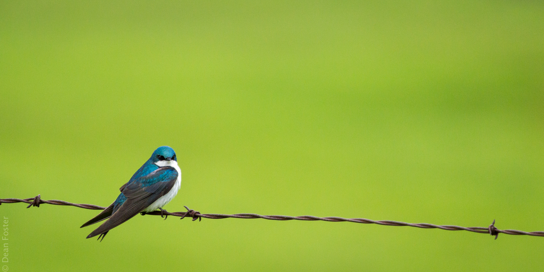 A tree swallow rests on barbed wire during the early spring