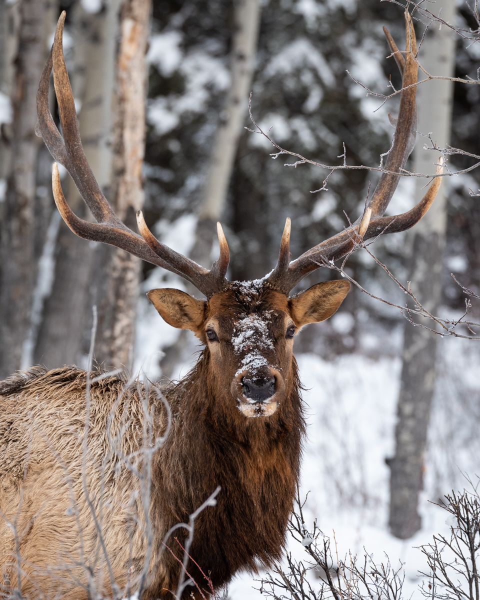 Bull elk, Banff National Park