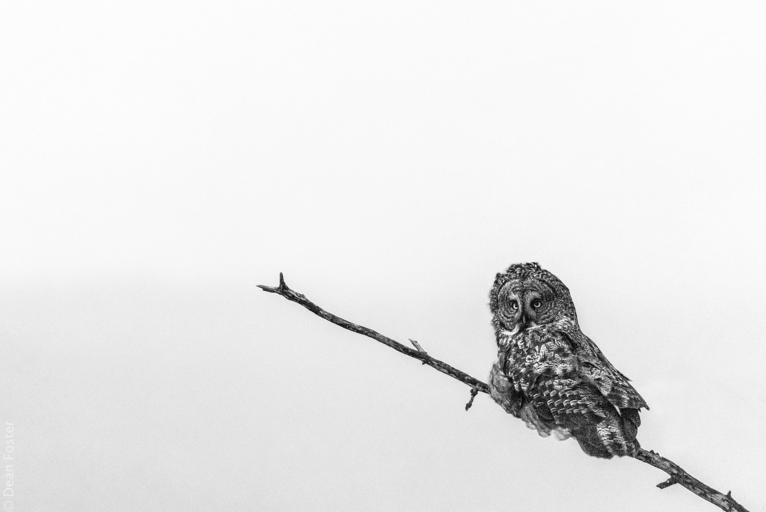 A great gray owl surveys an open field as the wind picks up with a late evening shower rolling in.
