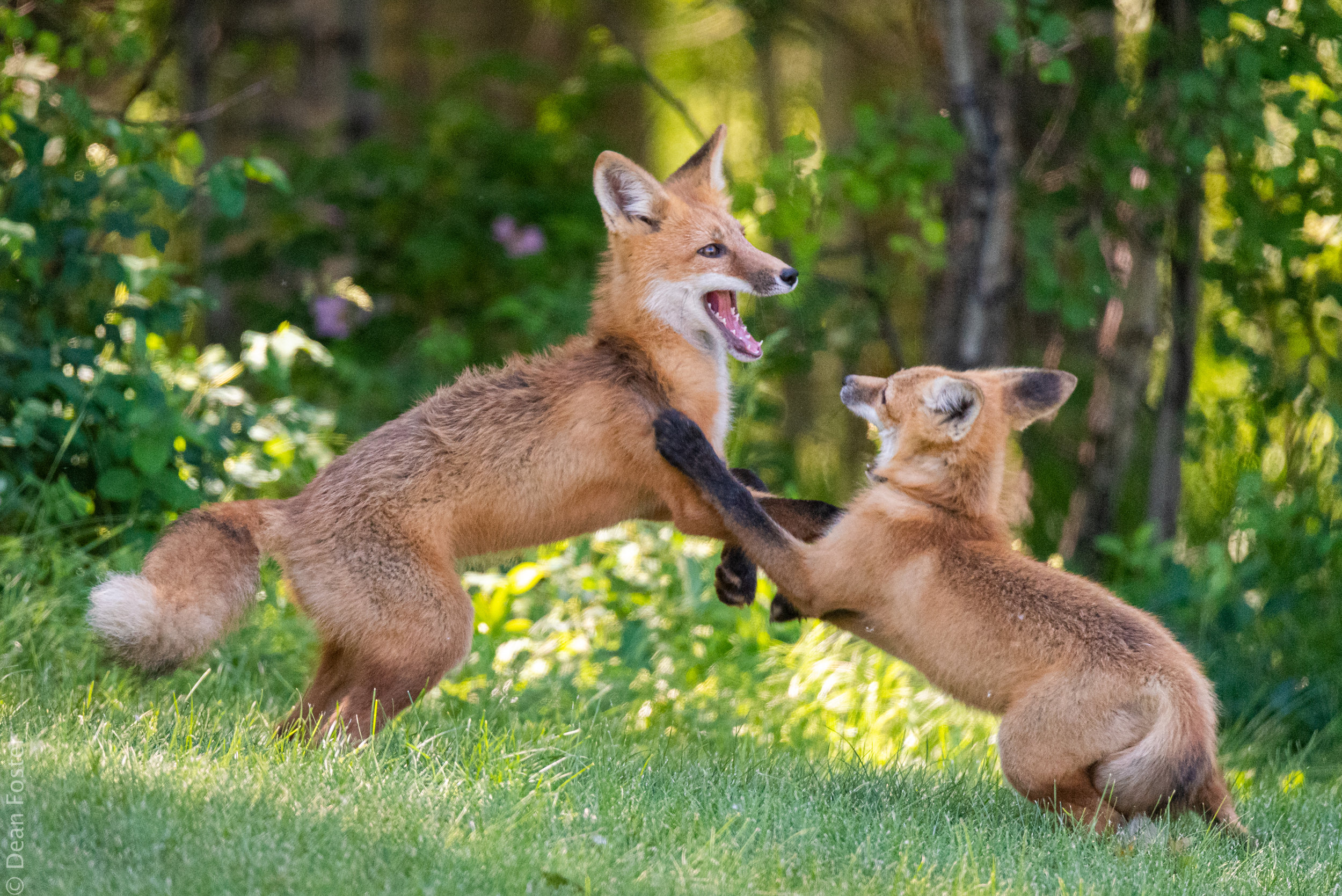 A father red fox plays with one of its kits in the late afternoon