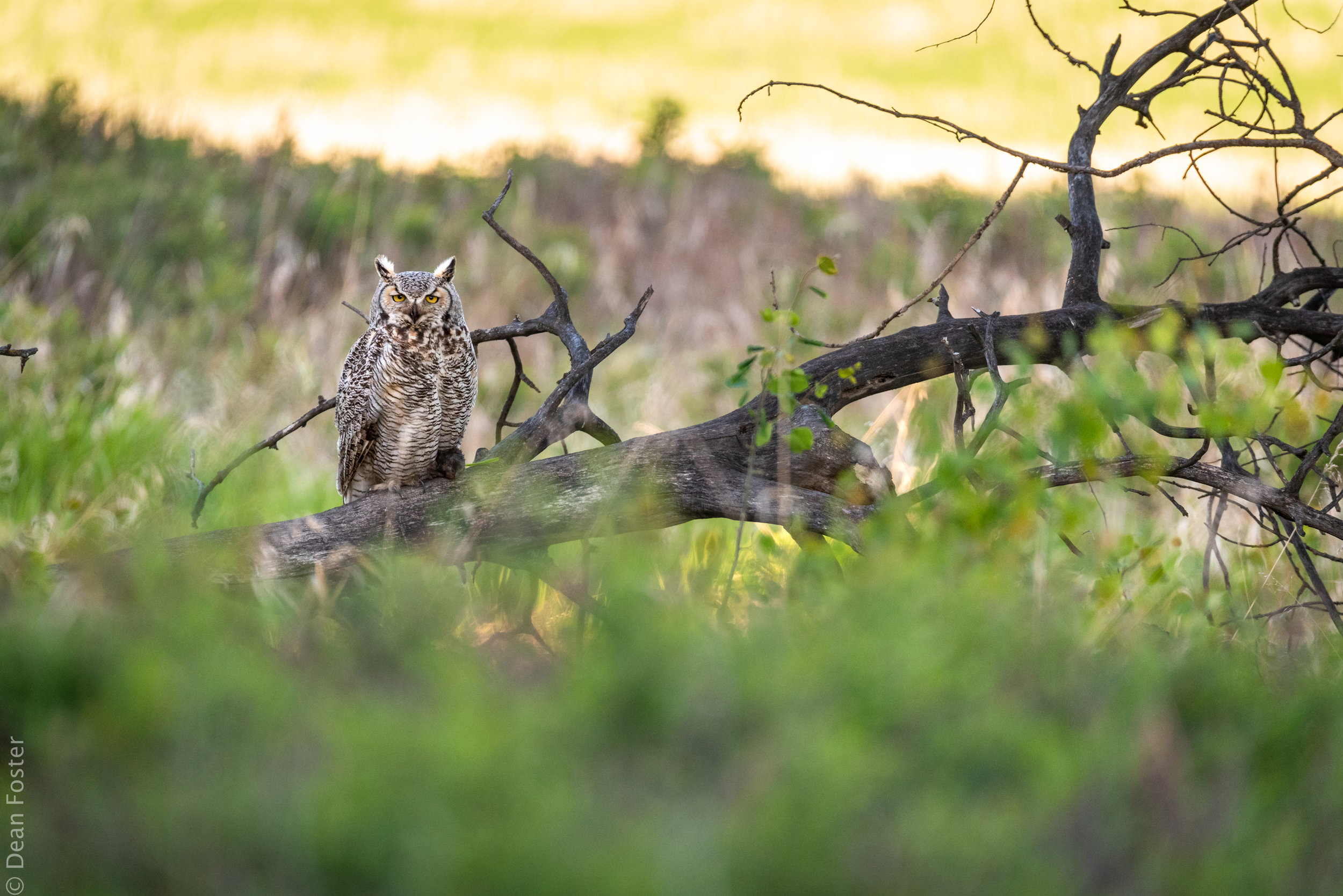 A great horned owl with a small vole returns to its young after a successful hunting trip