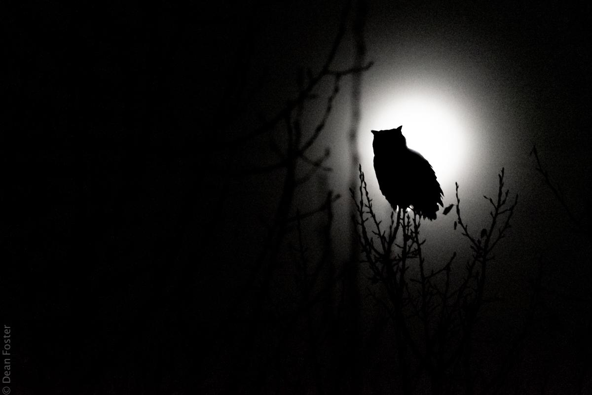 Owl-Eclipse-2890.jpg