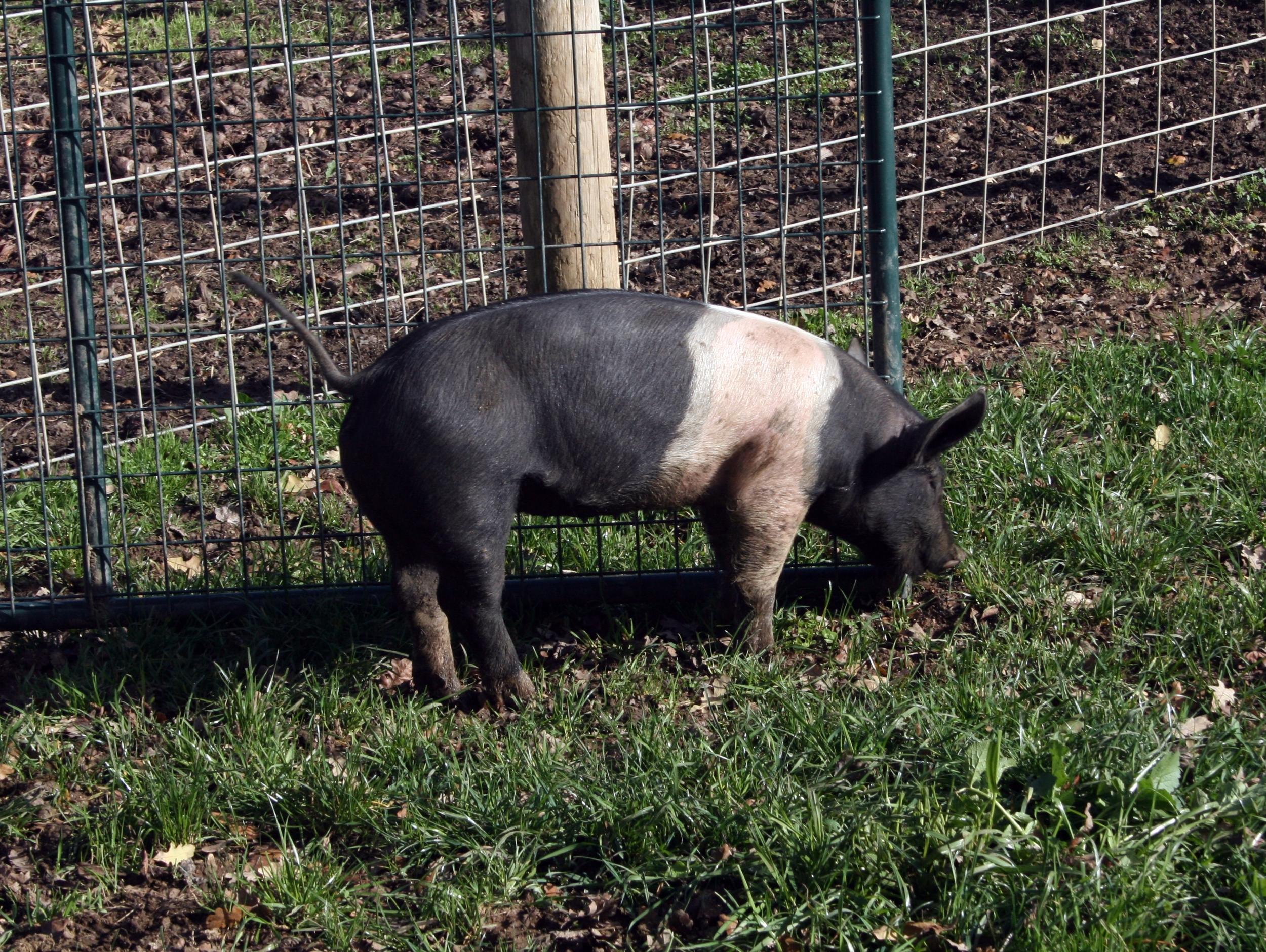 Happy pig at Quivira Vineyards