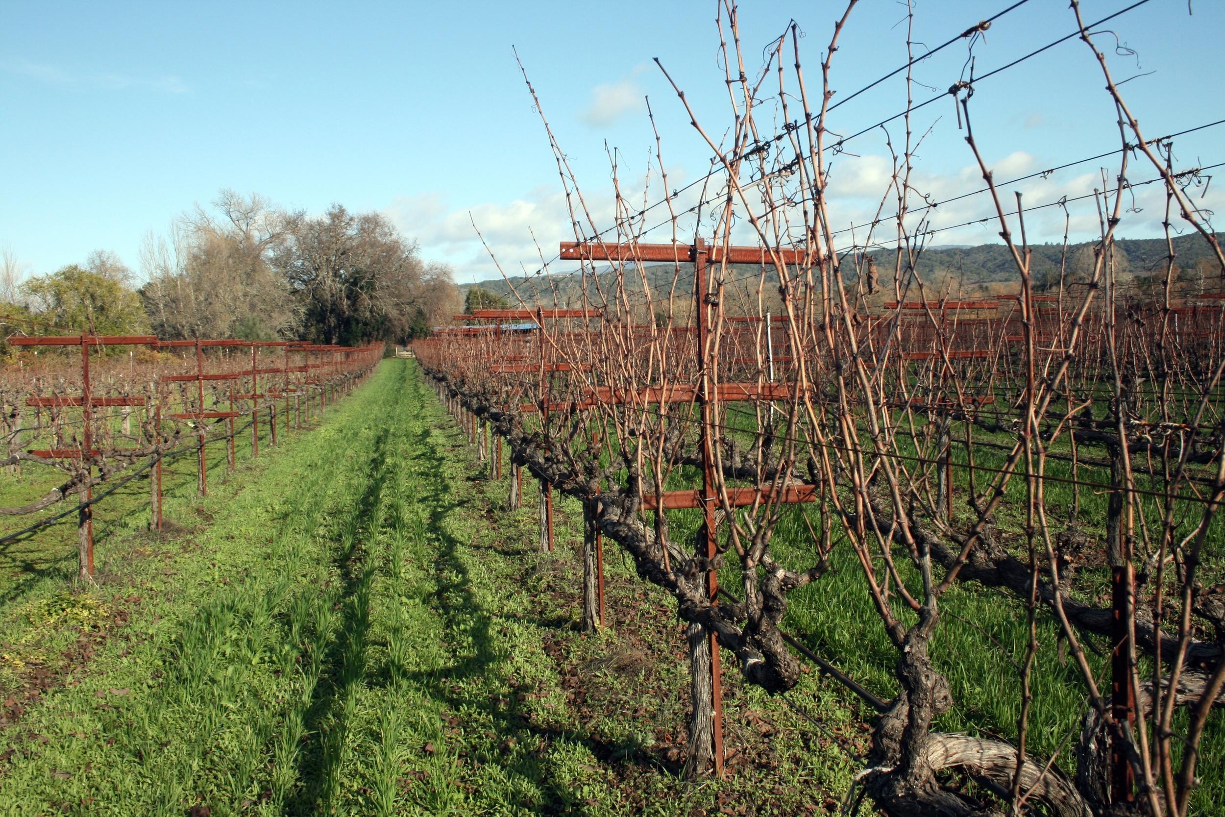 Vineyard row at biodynamic winery