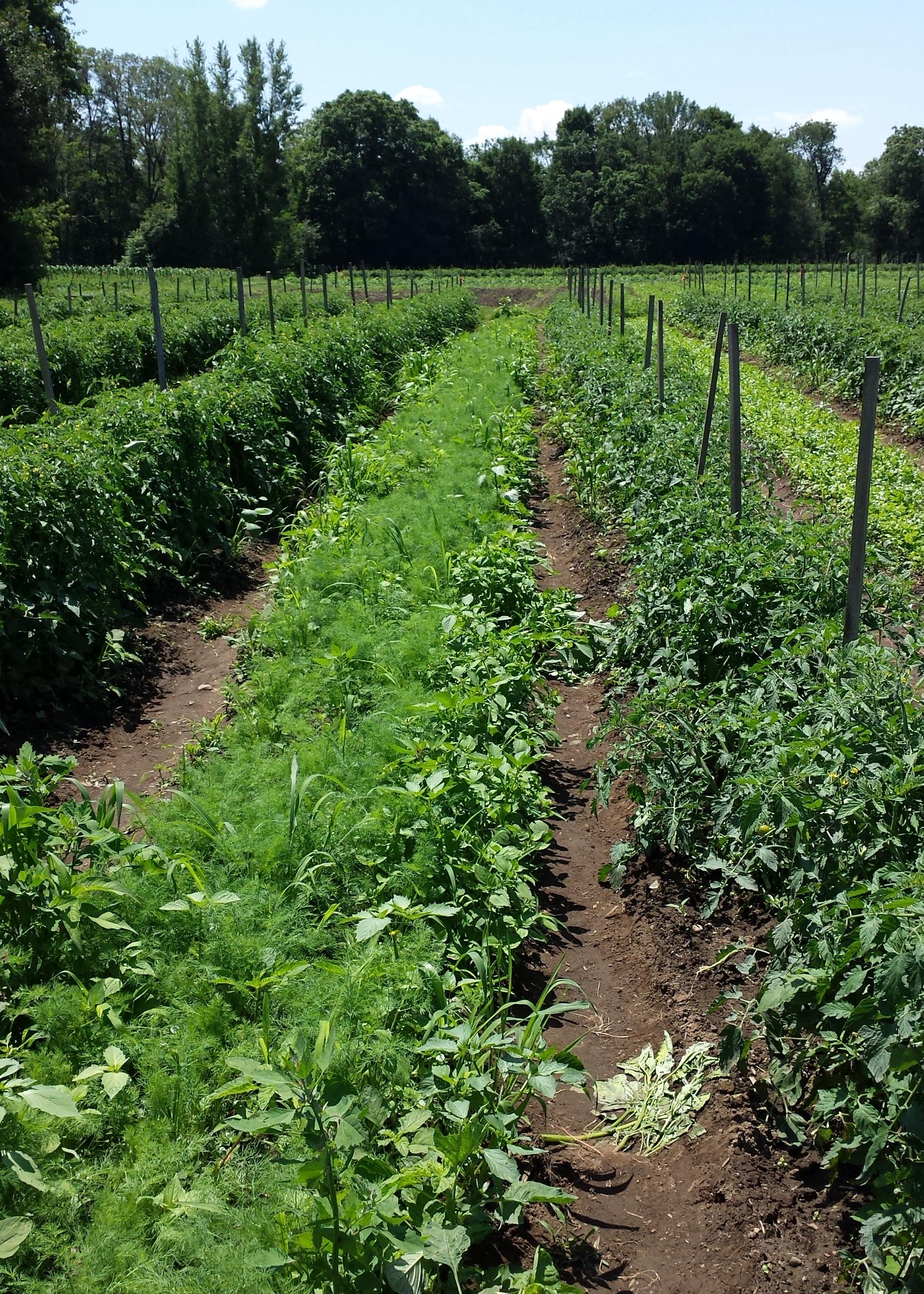 Growing food on an organic farm