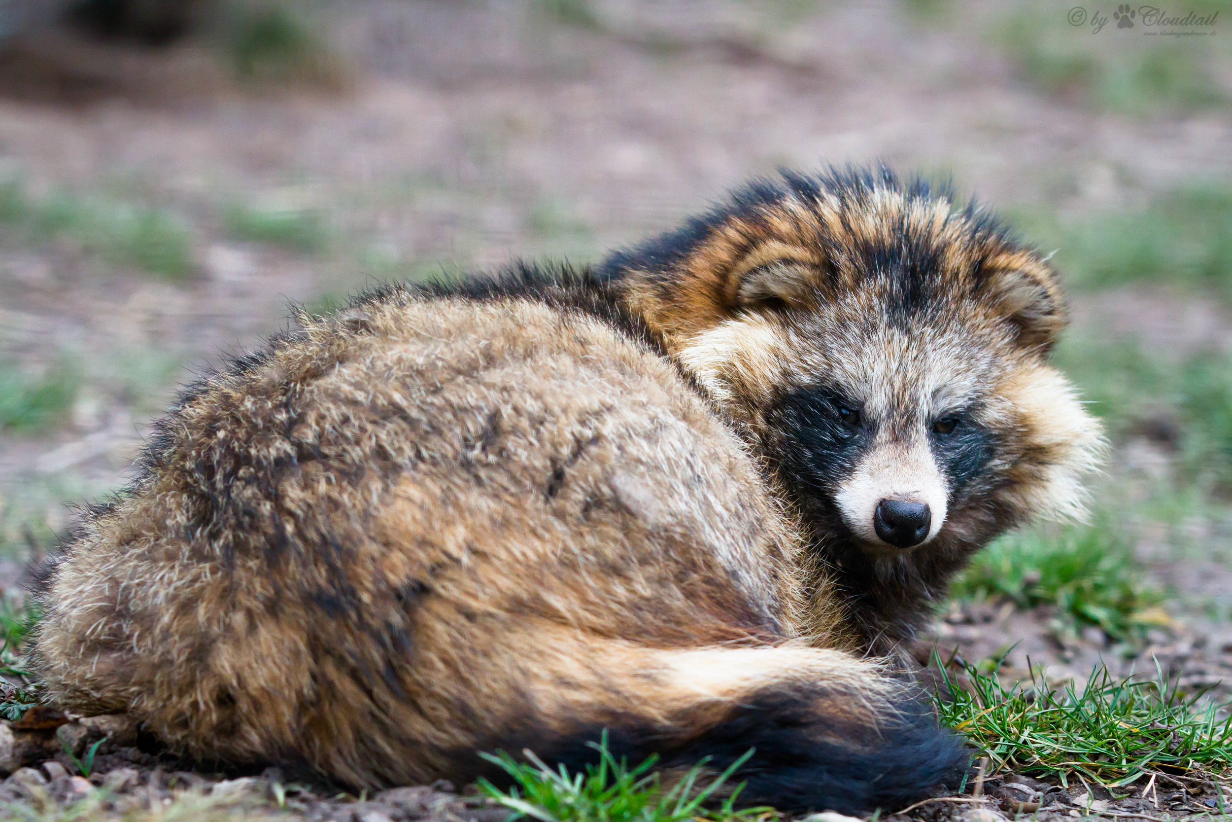 Raccoon dog. Photo by Cloudtail the Snow Leopard.