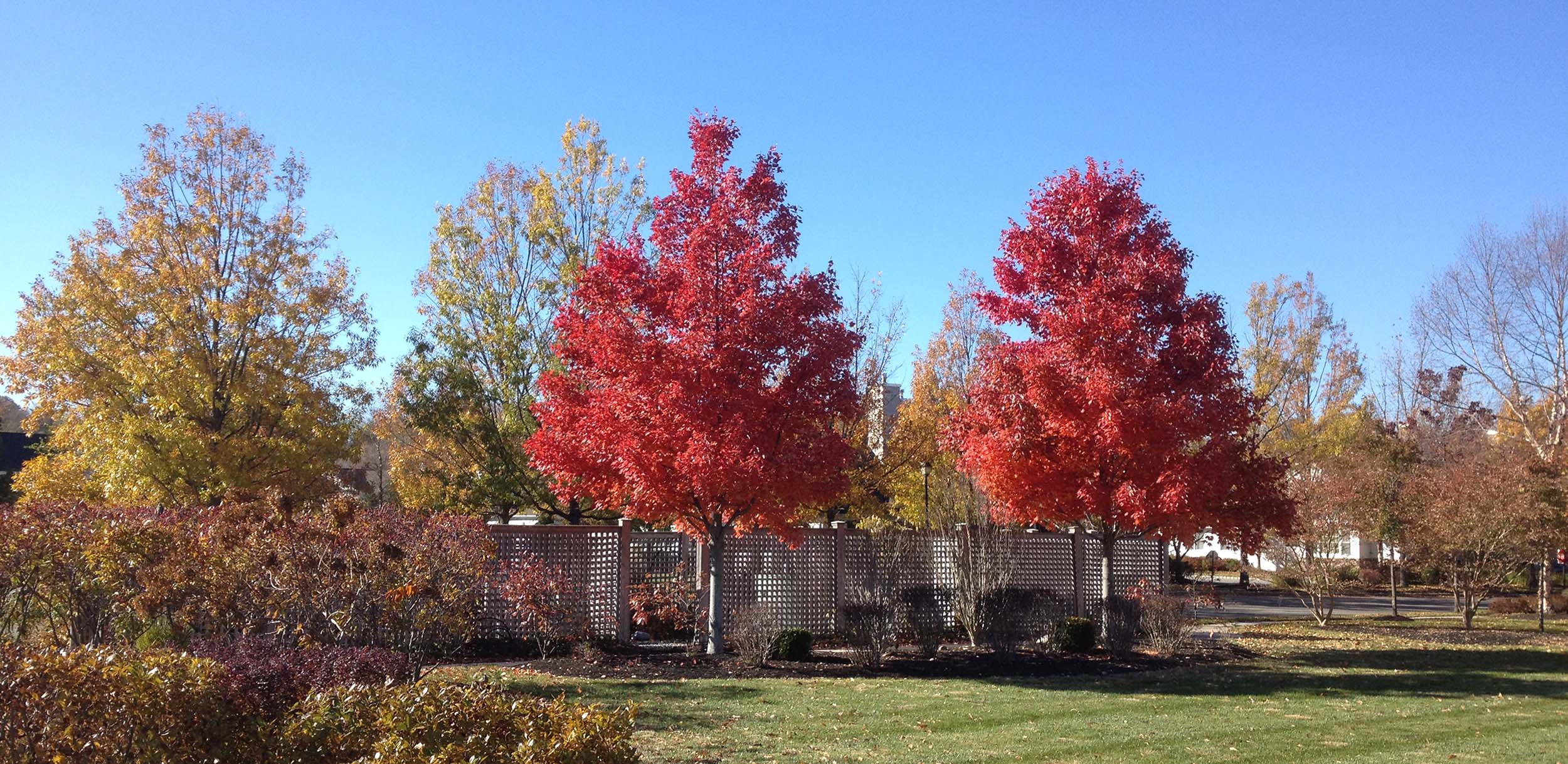 Hybrid Maples Fall.JPG