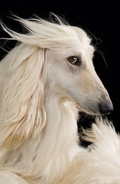 what's better than a quisitive looking afghan hound