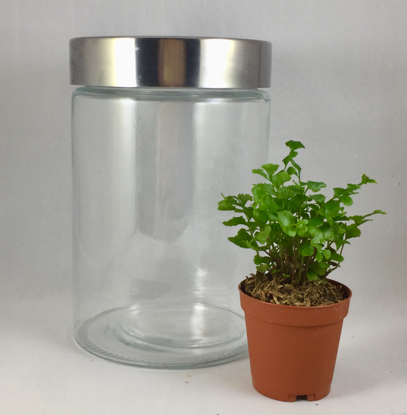 Small Upright Terrarium - $20 includes: 6 1/2 inch upright jar, one plant, base sands, dirt, decorations and tote bag.