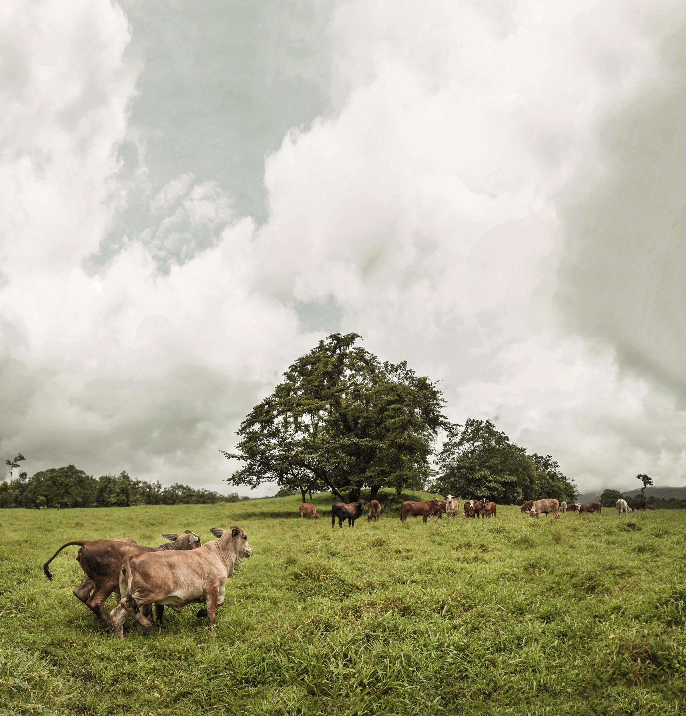 Cows Panorama.jpg