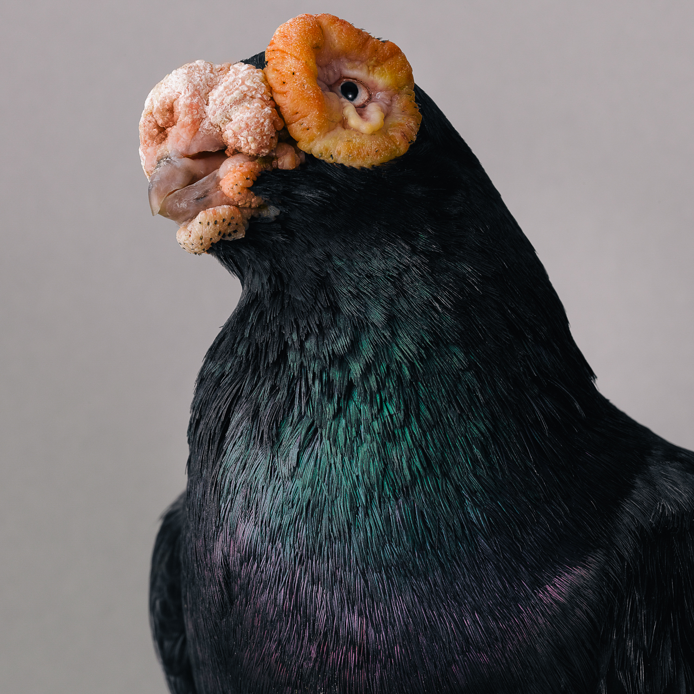 pigeon _00434.jpg