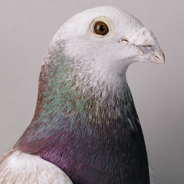 pigeon _00350.jpg