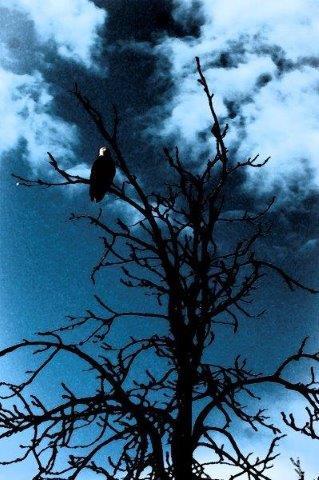 Bald Eagle - RM.jpg