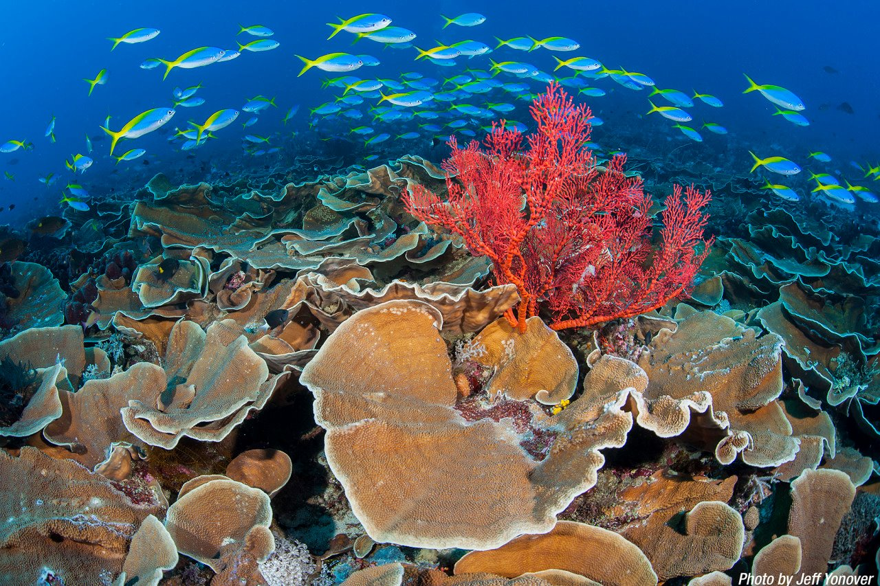 What healthy, thriving reef ecosystems should look like.  Photography by Jeff Yonover.