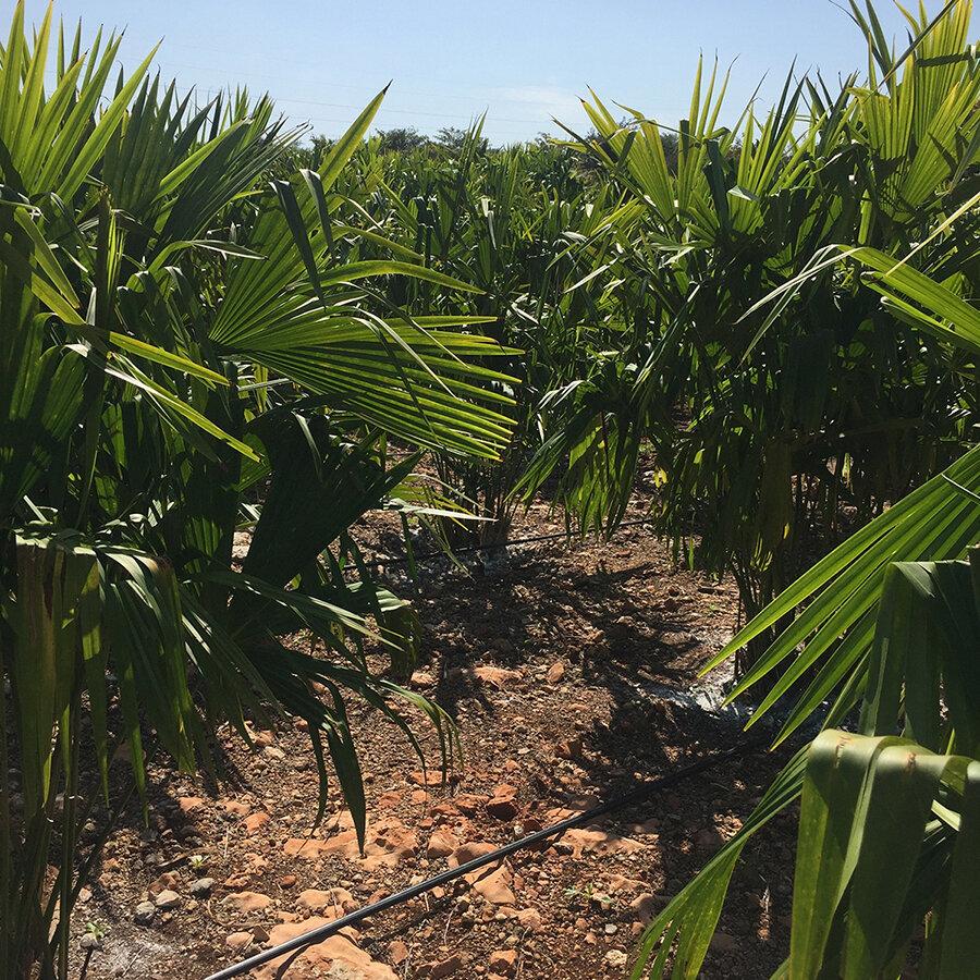 Jipijapa palm fields in southeastern Mexico.