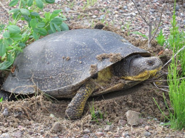 A Blanding's turtle, one of Ontario's at risk species. Photo by Ed Rohr, June 10 2015 on Buckshot Lake Road.