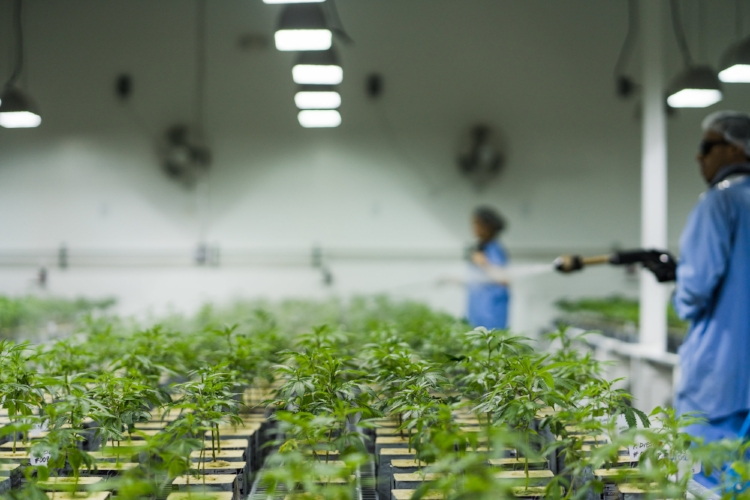 Caliva staff water rows of clones.