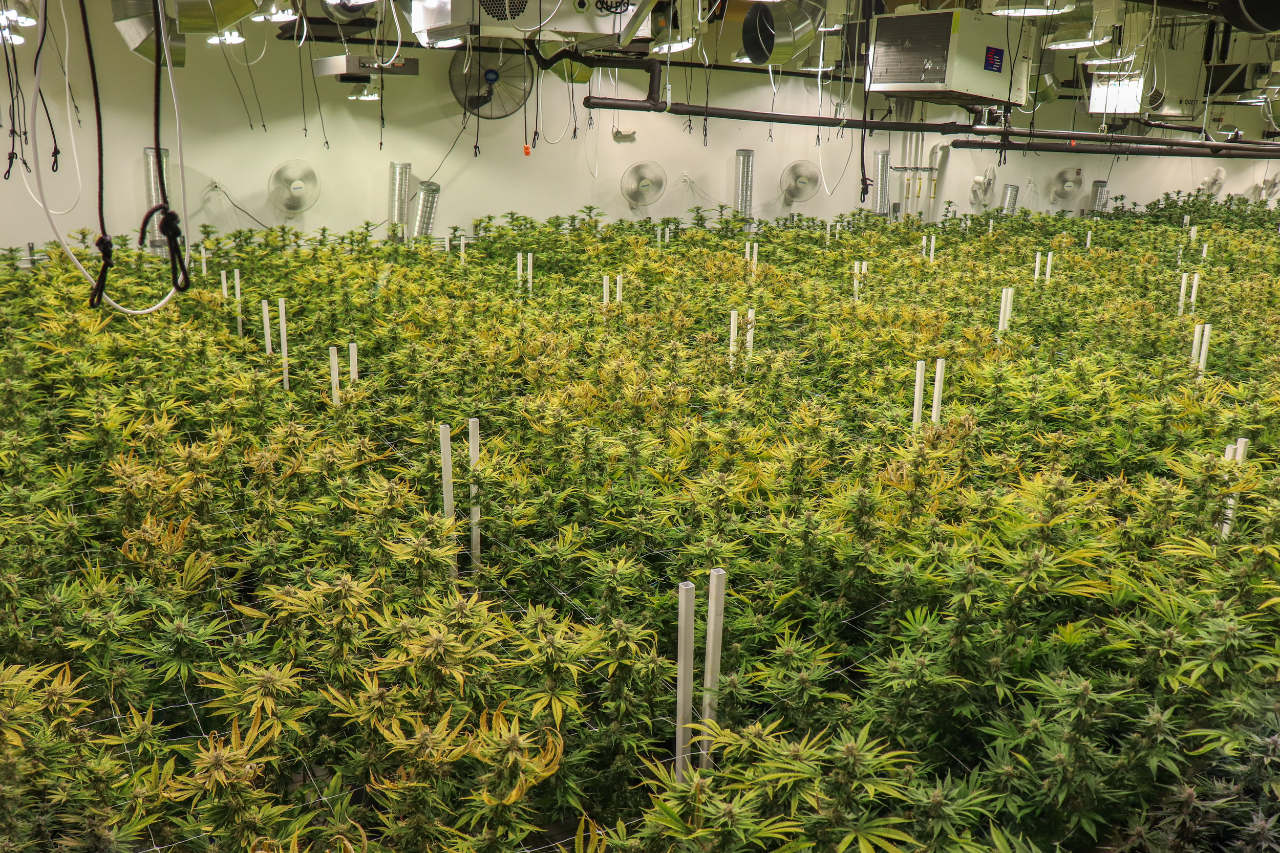 Caliva cultivation grow room cannabis plants 420 weed day