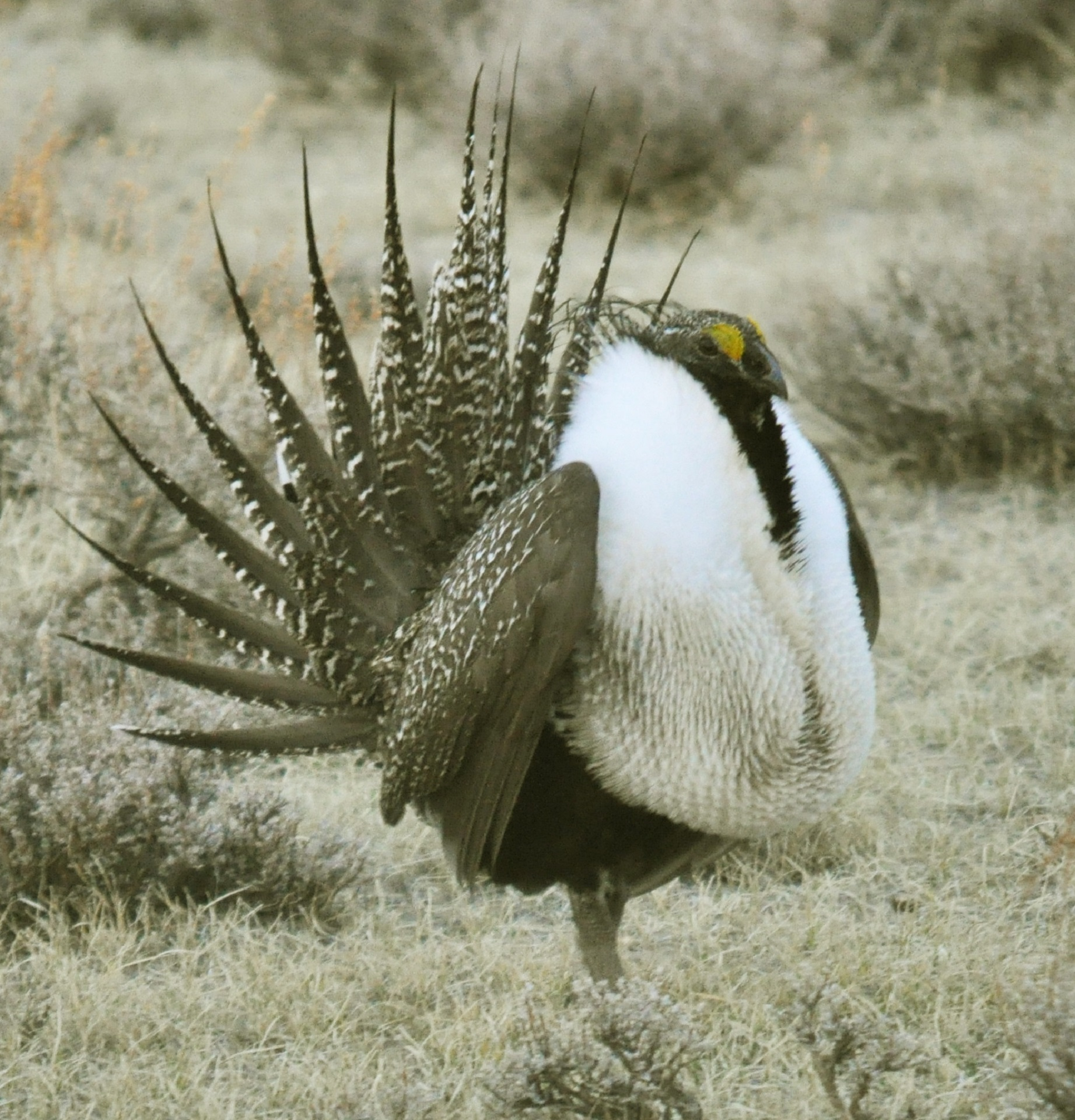 greater-sage-grouse-936693.jpg