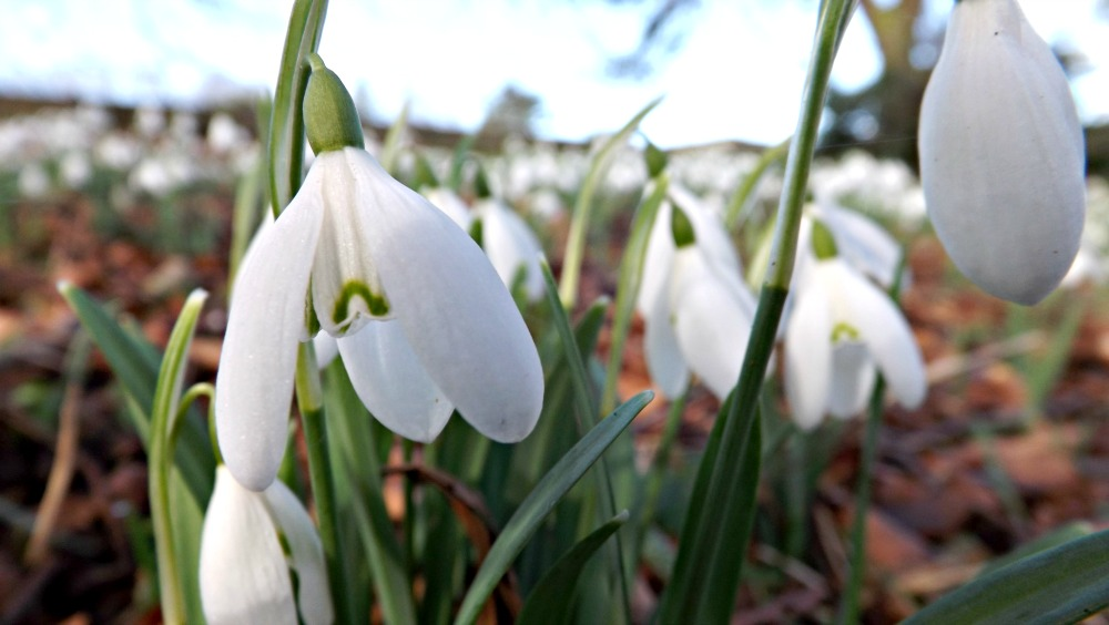 Snowdrops-Creative-Countryside