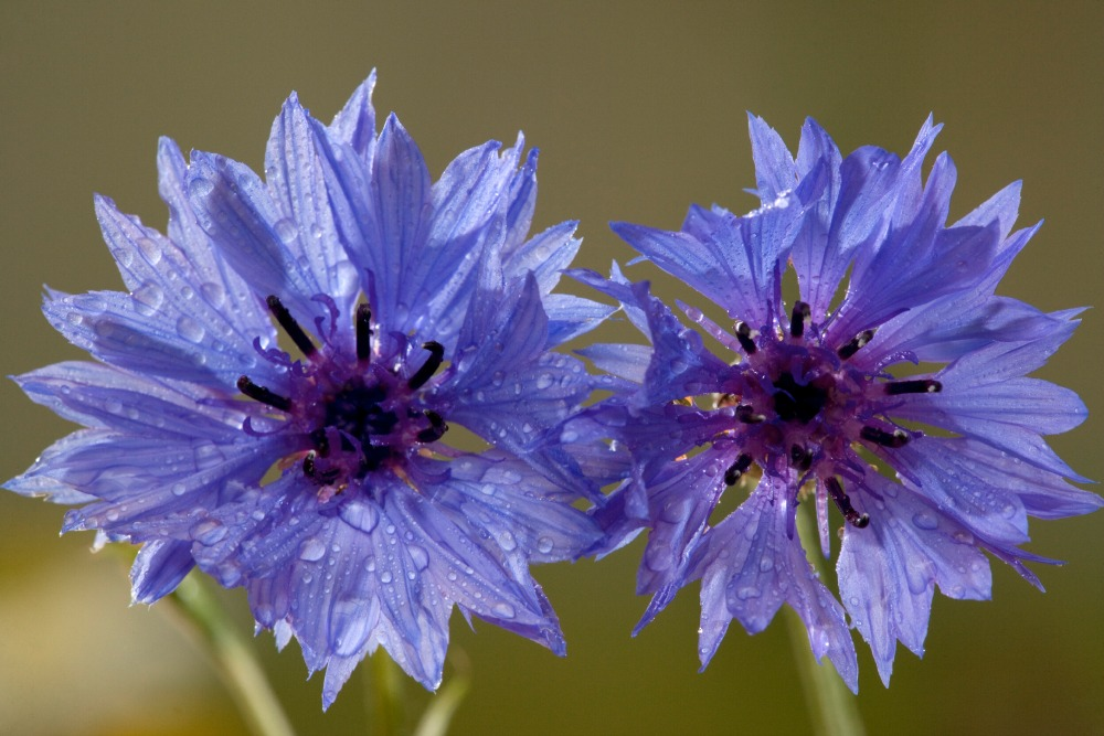 Cornflower-Creative-Countryside
