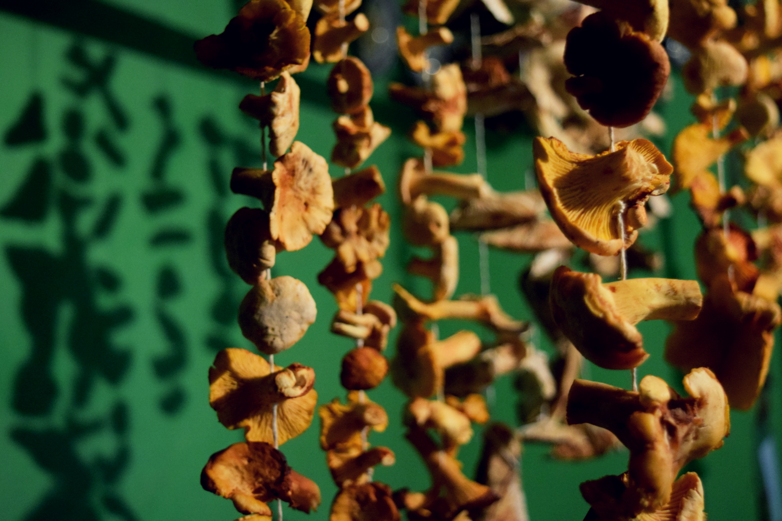 drying chanterelle mushrooms.JPG