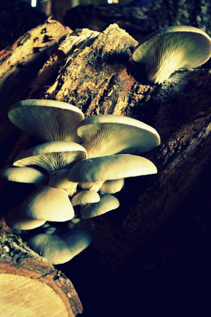 oyster mushrooms.JPG