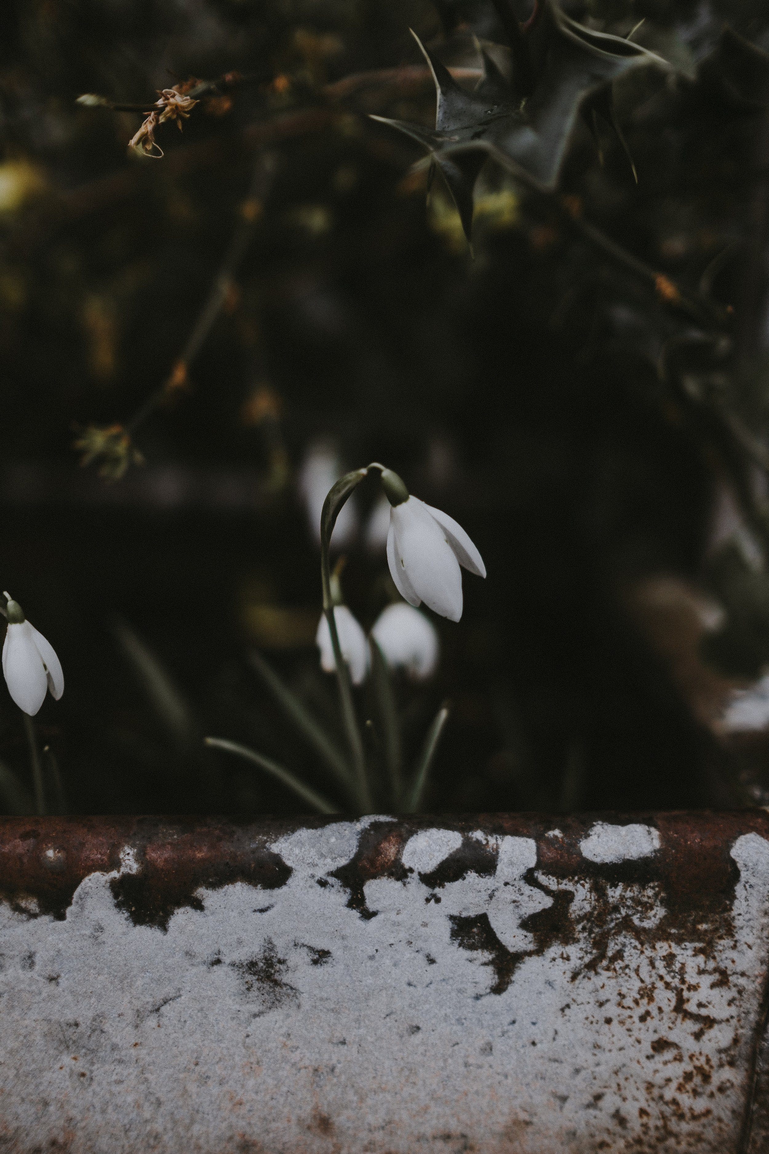 The Folklore Of Snowdrops Creative Countryside
